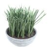 Gold Eagle USA Grass in Round Cement Pot