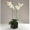 Babylon London Phalaenopsis Orchid in Vase