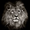 PRO ART 'Lion Head' Photographic Print