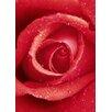 Wizard + Genius Rose Fototapete 254 cm x 183 cm 4-teilig
