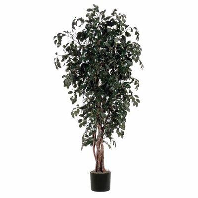 Ridge Floor Ficus Tree in Pot