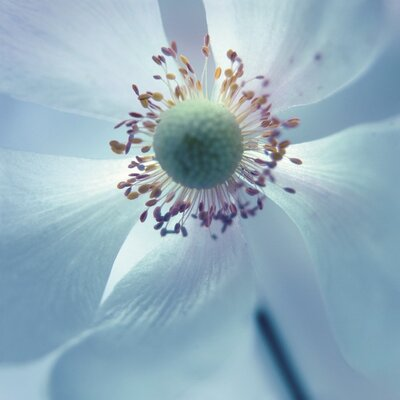 Art Group Japanese Anemone by Ian Winstanley Canvas Wall Art