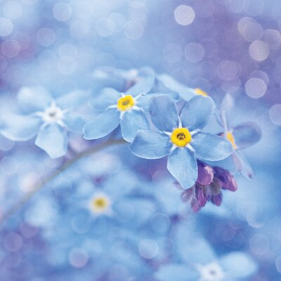 Art Group Forget Me Nots by Ros Berryman Canvas Wall Art
