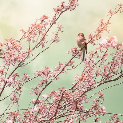 Art Group Chaffinch With Blossom by Ros Berryman Canvas Wall Art