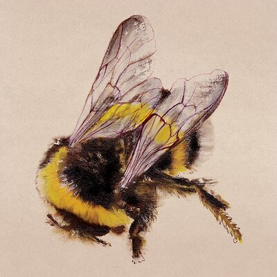 Art Group Lily Greenwood - Bee Canvas Wall Art