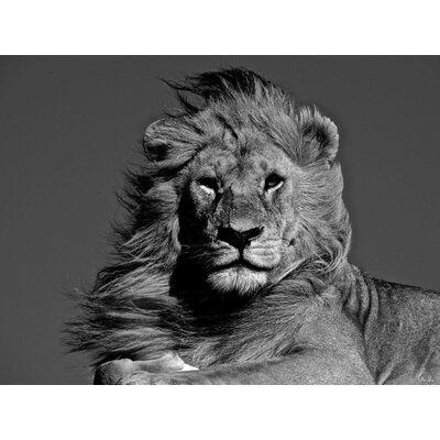 Innova African Animals Magnificent Lion by Charlie Hamilton James Tempered Glass Photographic Print