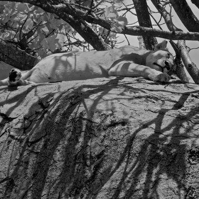 Innova African Animals Lazing Lioness by Charlie Hamilton James Tempered Glass Photographic Print