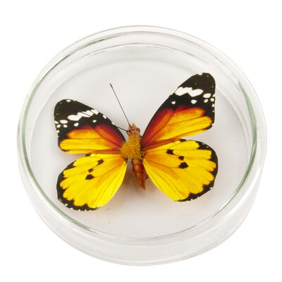 Ian Snow Decorative Butterfly Clip in Petri Dish