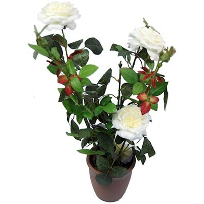 Ascalon Damask Rose
