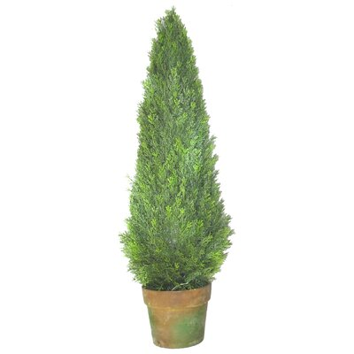 Ascalon Cupressus Round Tapered Topiary in Pot