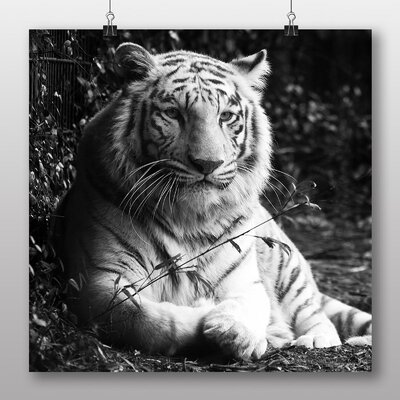 Big Box Art White Tiger Photographic Print