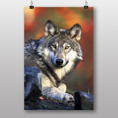 Big Box Art Wolf Resting Photographic Print