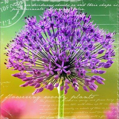 Dekoria Garlic Flower Photographic Print