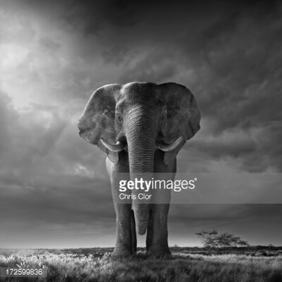 GettyImagesGallery Elephant Walking by Chris Clor Photographic Print