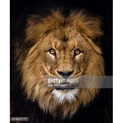 GettyImagesGallery Lion Portrait by Bas Vermolen Photographic Print