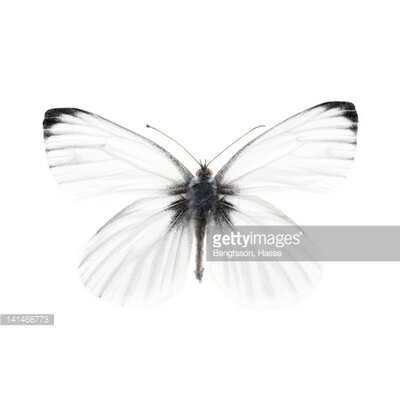 GettyImagesGallery Studio Shot of Sharp-Veined White Butterfly byBengtsson, Hasse Photographic Print
