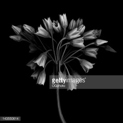 GettyImagesGallery Allium Bulgaricum Flower Head by OGphoto Photographic Print