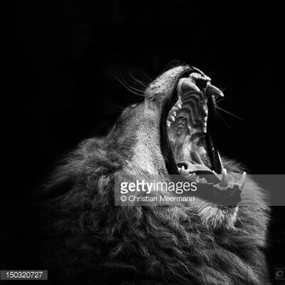 GettyImagesGallery Yawning Lion by Christian Meermann Photographic Print