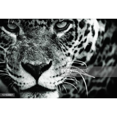GettyImagesGallery Leopard (Panthera Pardus) by Zac Macaulay Photographic Print