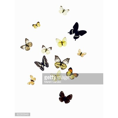 GettyImagesGallery Butterflies Shot on White by Maren Caruso Graphic Art