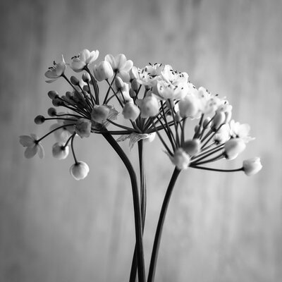 David & David Studio 'Allium Napolitain 3' by Laurence David Framed Photographic Print