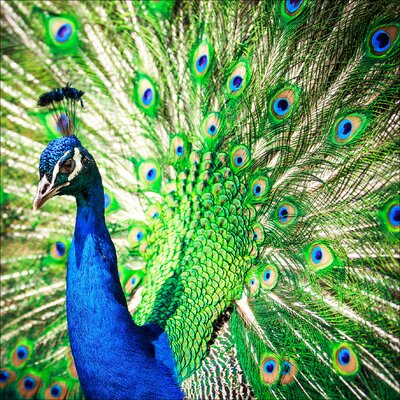 Pro-Art Glasbild Peacock, Kunstdruck