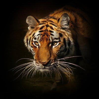 Pro-Art Glasbild Tiger II, Kunstdruck