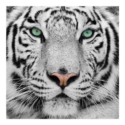 PPS. Imaging GmbH Tapete Weißer Tiger 240 cm H x 240 cm B