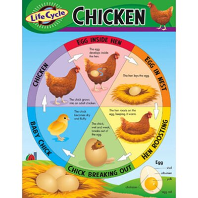 Trend Enterprises Life Cycle of A Chicken Chart