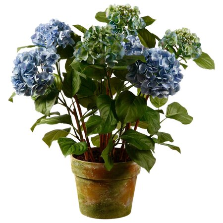 Hydrangea care instructions potted - Care potted hydrangea ...