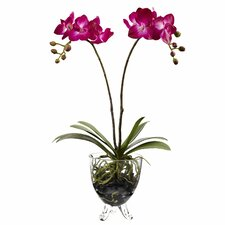 Double Phalaenopsis Elegance Flowers