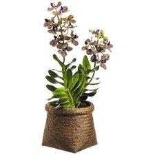 Vanda Orchid Plant in Basket