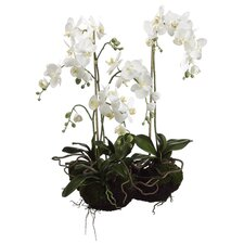 """33"""" Two Phalaenopsis Orchid Plant in White"""
