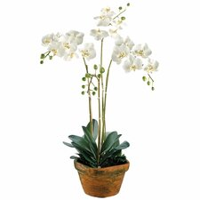 """36"""" Phalaenopsis Orchid Plant with Terra Cotta Container in White"""