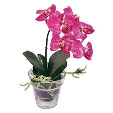 Phalaeopsis Plant in Glass Pot