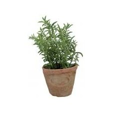 Thyme Plant in Round Planter