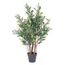 New2 Olive Tree in Pot