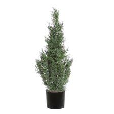 Cedar Tree in Pot