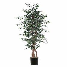 Ridge Fir Variegated Ficus Executive Tree in Pot