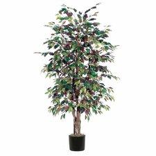 Ridge Fir Mystic Ficus Executive Tree in Pot