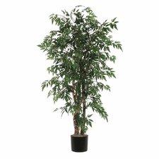 Ridge Fir Ming Aralia Executive Tree in Pot