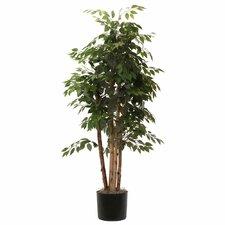 Ridge Fir Paper Birch Executive Tree in Pot