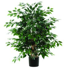 Extra Full Bush Ficus Tree in Pot