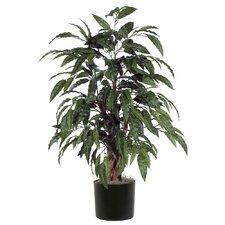 Mango Bush Tree in Pot