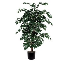 Sakaki Bush Tree in Pot