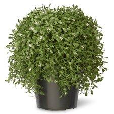 Cedar Desk Top Plant in Pot