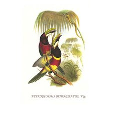 'Red Necked or Double Collared Aracari' by John Gould Painting Print