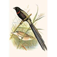 'Red Collared Whydah' by F.W. Frohawk Graphic Art