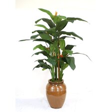 Heliconia Tree in Pot