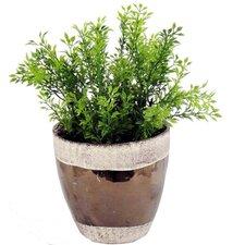 Tea Floor Plant in Pot
